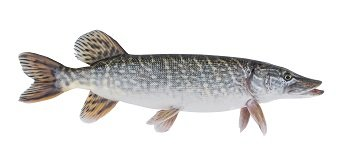 Zander, Pike Perch