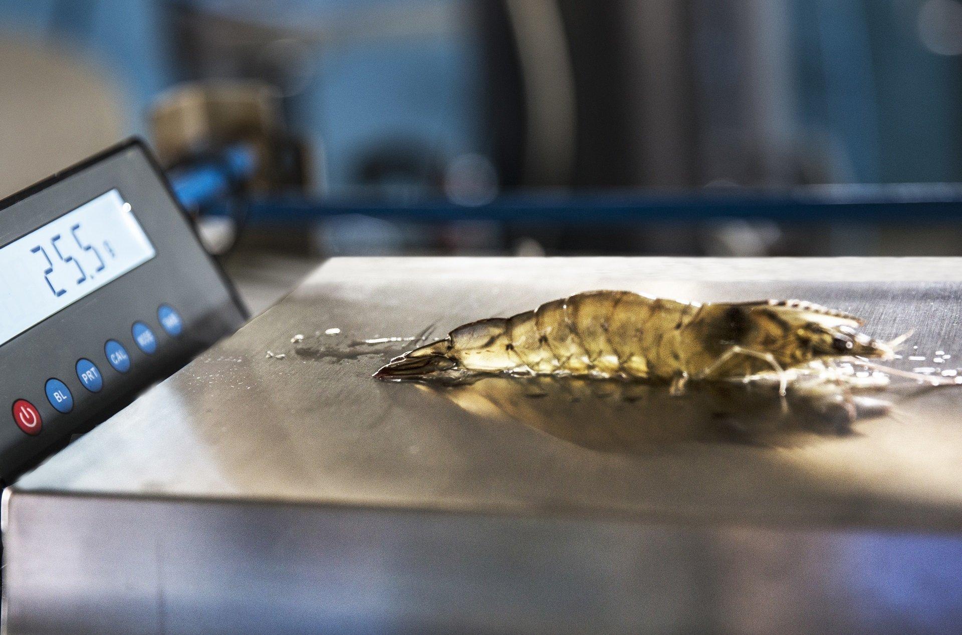 Shrimp on scale